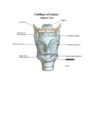 Laryngeal Cartilages and Intrinsic Musculature Diagrams