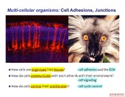 Lecture 11-12 - Cell Adhesions, Junctions