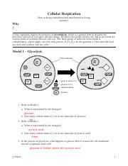 POGIL- Cell Respiration.pdf - 1 Refer to Model 1 a What is ...