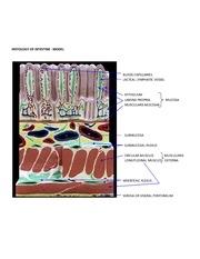HISTOLOGY OF INTESTINE-MODEL