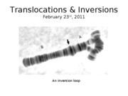 Lecture_18_Translocations_&_Inversions_2011