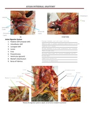 Avian Internal Anatomy Review Key