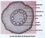 cross section of monocot root