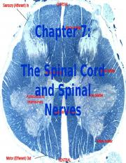 Chapter 7 The Spinal Cord and Spinal Nerves