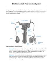 B-2.1 Male Reproductive System WS.docx