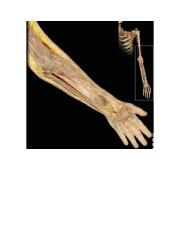 arm, forearm and hand (screenshots for flashcards)