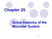 Muscle System-25