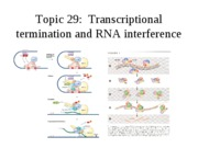 Topic 29, termination of transcription, RNAi.ppt.edu