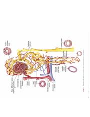 Nephron Structure