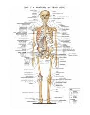 Picture-of-all-the-bones-in-the-human-body.jpg
