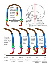 IB302_Middle_ear_bone_evolution