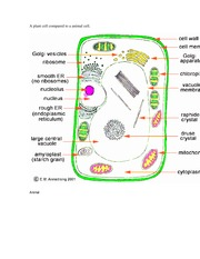 A plant cell compared to a animal cell