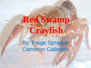 Red_Swamp_Crayfish