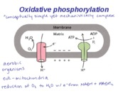 Lecture_4D_-_Oxidative_Phosphorylation_S2008