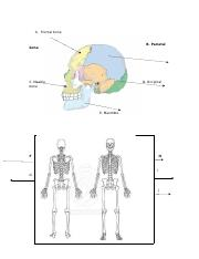 ANTHR 1300Prelim1Skeleton.docx