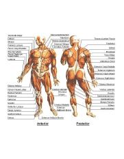 muscles system