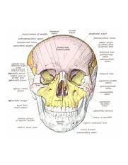 Anatomy of the Skull (Anterior View).png