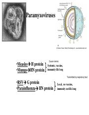 (8) paramyxovirus new