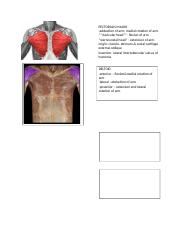anatomy lab muscles.docx