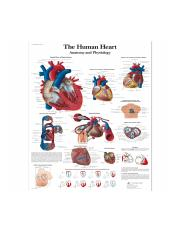 VR1334L_01_1200_1200_The-human-heart-Chart-Anatomy-and-Physiology.jpg