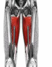 muscle anatomy lower.ppt