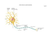 bio 243 - horizontal diagram of neuron