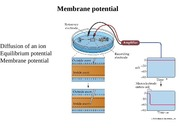 Chapter 6b Membrane potential
