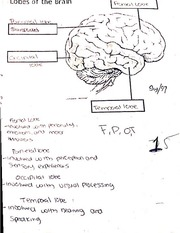 Classwork on Lobes of the Brain & Nuerotransmitter