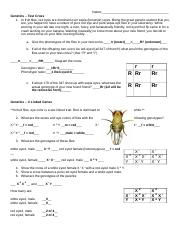 Morgan Fruit fly experiment practice (1).pdf - Name ...