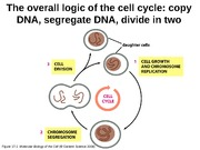 13 - Cell Cycle
