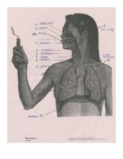 Biology 12 Respiratory Diagram