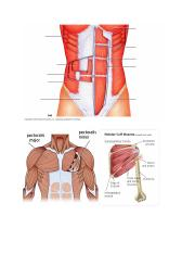 muscles diagrams.docx
