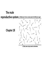 Chapter 28 The male reproductive system STUDENT(3)