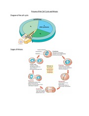 Pictures of the Cell Cycle and Mitosis