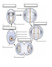 mitosis labeling diagram.doc