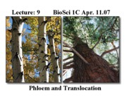 9 Transport - Phloem I