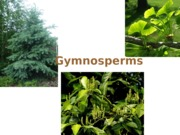 BIO 1500 Lecture 9 - Gymnosperms(1).ppt