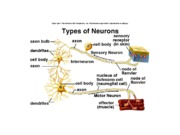 7. and 8. Nervous system and behavior