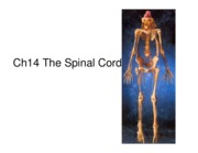 Ch14_SpinalCord