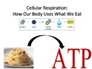8-Cellular%20Respiration-STUDENTVERSION