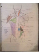 Anatomy 2_Muscle Diagram Review