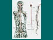 Spinal_Cord