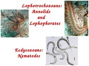 Lecture 21 - Annelides, Lophophorates and Nematodes