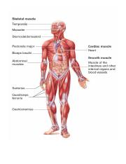 Anatomy- Muscles Pictures.docx