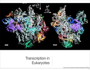 L18 Transcription in eukaryotes