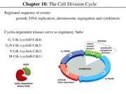 Lecture 8 Cell Cycle.ppt
