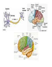 Chapter 4 (Neuroanatomy) Study Guide