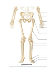 Skeleton figures - Lower Extremities.docx