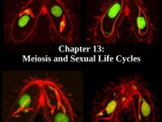 13_BSC_2010_Meiosis_POST