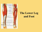 1.9 The Lower Leg and Foot